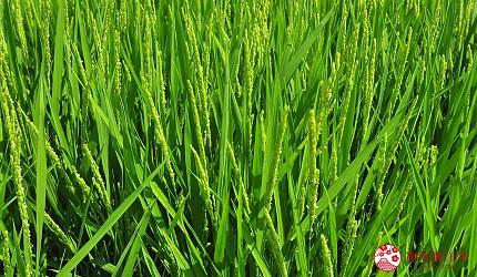 日本越光米的故鄉北陸「福井」的翠綠稻穗