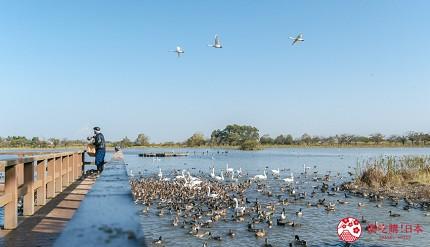 日本自由行新潟四日三夜行程中推介見證天鵝企滿湖邊奇景的瓢湖